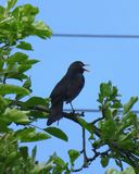 Male common blackbird sitting and singing on the branch of a tree in front of the blue sky. Photo of a male common blackbird sitting and singing on the branch of Royalty Free Stock Photo