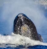 Hampback Whale Head with Barnacles out of the Water in Maui Hawaii. This is a photo of a male humpback whale in the warm waters of Maui Hawaii. His head is royalty free stock images