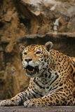 A photo of a male jaguar. (Panthera onca Royalty Free Stock Photography