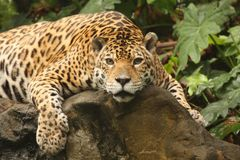 A photo of a male jaguar royalty free stock images