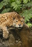 A photo of a male jaguar royalty free stock photos