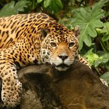 A photo of a male jaguar royalty free stock photo