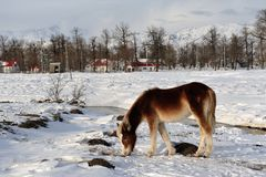 Horse with snow  Royalty Free Stock Photography