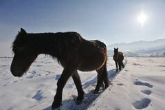 Horses with snow Stock Image