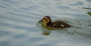 Photo of a Mallard duckling. Swimming with reflections in the water Royalty Free Stock Images