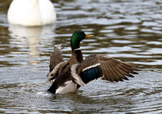 Photo of the mallard with the wings Royalty Free Stock Photography