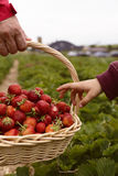 Photo of man`s hands holding a big basket full of ripe strawberry Stock Photos