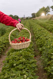 Photo of man`s hands holding a big basket full of ripe strawberry. Photo of man`s hands holding a big basket full of ripe strawberries, fresh picked strawberries Stock Photography