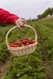 Photo of man`s hands holding a big basket full of ripe strawberry Royalty Free Stock Photos