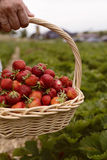 Photo of man`s hands holding a big basket full of ripe strawberry Stock Image