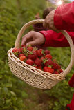 Photo of man`s hands holding a big basket full of ripe strawberry Royalty Free Stock Photo