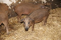 Photo of mangalica piglets at animal farm. Beautiful newborn  mangalica piglets growing up in the barn Stock Photos