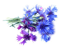Photo manipulation oil paint blue cornflower  isolated Royalty Free Stock Photos