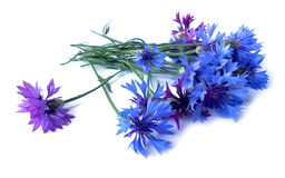 Photo manipulation oil paint blue cornflower  isolated Royalty Free Stock Images