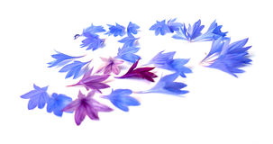 Photo manipulation oil paint blue cornflower. Photo manipulation oil paint blue cornflower perspective, delicate flowers and petals  on white background Royalty Free Stock Photos