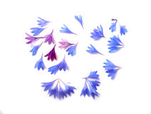 Photo manipulation oil paint blue cornflower. Perspective, delicate flowers and petals on white background royalty free illustration