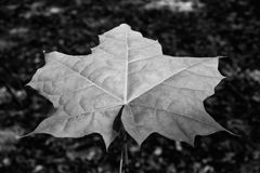 Photo of the maple leaf in a green forest black and white Stock Photos