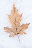 Photo of the maple leaf on snow closeup Stock Image