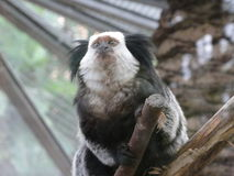 Marmoset Stock Photography