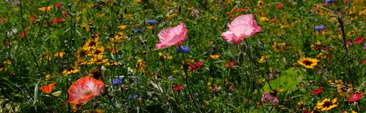 Photo of a meadow of colorful wild flowers with pink poppies, taken on a sunny day in midsummer in Eastcote, UK Stock Images