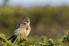 Meadow pipit Norway. This is a photo of a meadow pipit in Dovrefjell National park in Norway stock photos