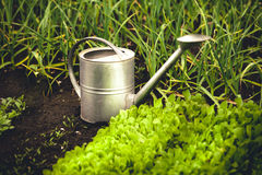 Photo of metal watering can on garden bed with lettuce Stock Photo