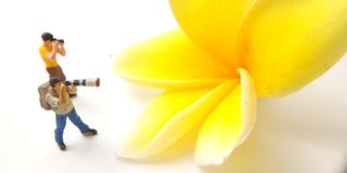 Top View Photo 2 Mini Figure Photographer toy standing taking Picture a big yellow white beautiful frangipani royalty free stock image
