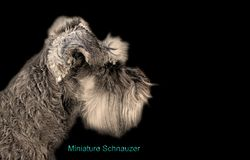 Pedigree miniature schnauzer dog business card isolated on black. Photo of a miniature schnauzer dog side profile portrait isolated on black background for own royalty free stock images