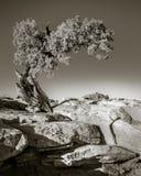 Photo modifiée la tonalité d'arbre au parc d'état de point de cheval mort photographie stock libre de droits