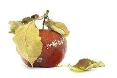 A photo of mold growing on the old apple isolated on white background. Food contamination, bad spoiled disgusting rotten organic a. Pple. Messthetics concept royalty free stock photo