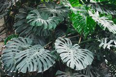 Image of monstera obliqua in the botanical garden royalty free stock photography
