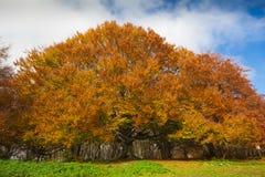 Photo of monumental beech tree Royalty Free Stock Image