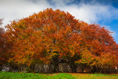 Photo of monumental beech tree in the canfaito natura reserve Royalty Free Stock Images