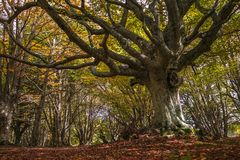 Monumental beech tree, the king of the beech forest. Photo of monumental beech tree, the king of the beech forest Royalty Free Stock Photos