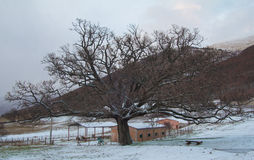 Photo of monumental oak with snow Stock Photography
