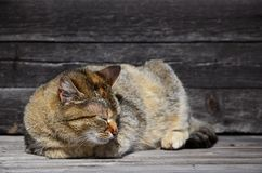 Photo of a multi-colored thick cat that lazily lays on a wooden surface. Photo of a multi-colored thick cat that lazily lays on wooden surface Stock Photography
