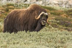 Musk oxen Norway royalty free stock photo
