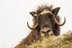 Musk oxen Norway. This is a photo of musk oxen in Dovrefjell National park in Norway stock images
