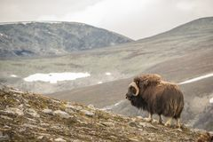 Musk oxen Norway. This is a photo of musk oxen in Dovrefjell National park in Norway royalty free stock image
