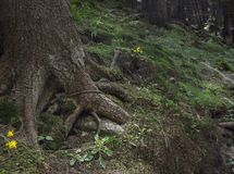 Photo of mystical forest in the mountains. Close-up view of tree roots, stones and moss royalty free stock image