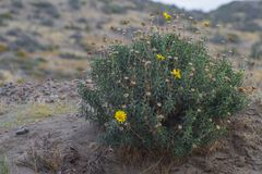 Photo of a native Patagonian flower. Native flower flowers patagonia argentina view hill bush rural no people quiet landscape photo patagonian stock photos
