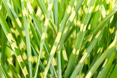 Photo of nice grass for background Royalty Free Stock Image