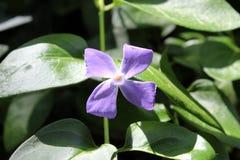 Nice purple flower. Photo of nice spring flowers royalty free stock photos