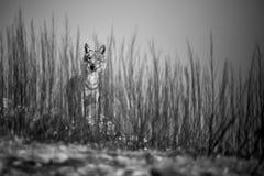 Photo noire et blanche d'émotion, la position sauvage de loup derrière les buissons Photographie de faune en Bulgarie Photo art image libre de droits