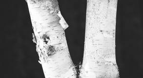 Photo noire et blanche d'arbre de bouleau photographie stock libre de droits