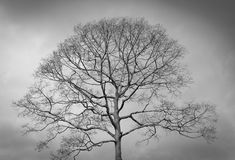Photo noire et blanche d'arbre mort d'hiver Images libres de droits