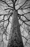 Photo noire et blanche d'arbre mort d'hiver Image stock