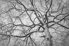 Photo noire et blanche d'arbre mort d'hiver Photographie stock libre de droits