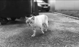 Photo noire et blanche de beau chat sans abri image stock