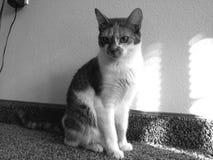 Photo noire et blanche de calicot de chat de Cleo Photo stock